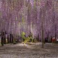 Photos: 紫のカーテン