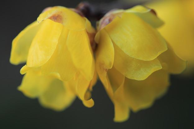ロウバイの香