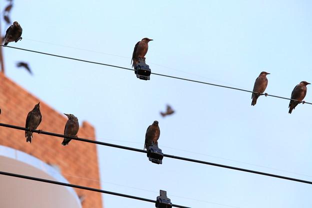 ムクドリの群れ 1