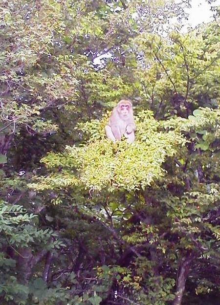 写真: ヤマボウシの実を食べる猿1