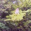 ヤマボウシの実を食べる猿1