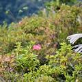 写真: ツツジの狂い咲き