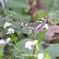 名も知らない白い花にチョウが~