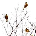 3羽のカワラヒワが~