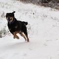 Photos: 初雪に大喜びで駆け回る愛犬~