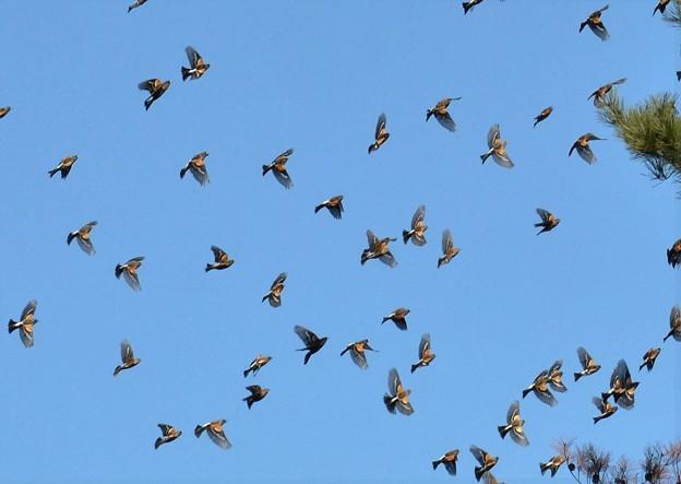 写真: アトリの集団移動 3