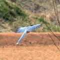 写真: オナガの飛翔!