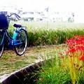 曼珠沙華と自転車