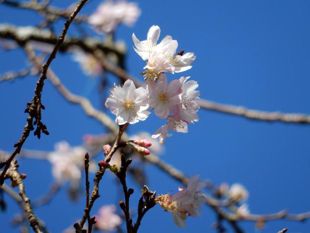 写真: DSCN0082 四季桜