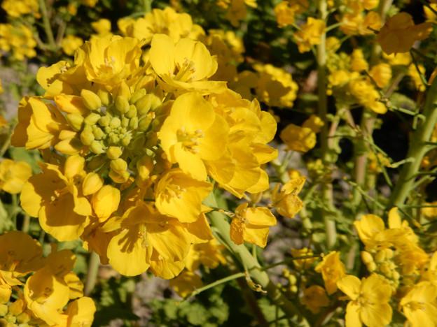 写真: DSCN0299 早くも菜の花