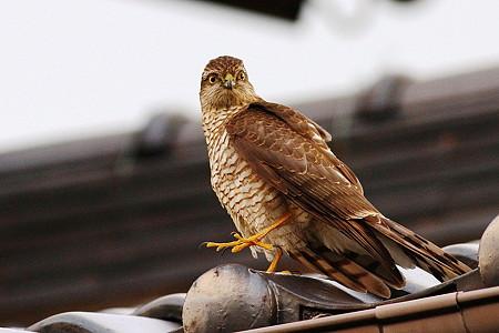 ハイタカ(幼鳥)