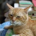 写真: 2010年8月24日の茶トラのボクチン(6歳)