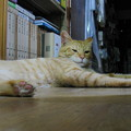 写真: 2008年9月25日の茶トラのボクちん(4歳)