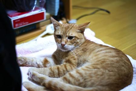 2009年9月29日の茶トラのボクチン(5歳)