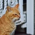 写真: 2011年10月1日の茶トラのボクちん(7歳)