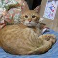 写真: 2008年10月7日の茶トラのボクちん(4歳)