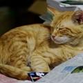 写真: 2009年10月17日の茶トラのボクちん(5歳)