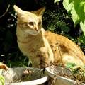 写真: 2008年10月19日の茶トラのボクチン(4歳)