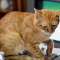 写真: 2010年10月25日の茶トラのボクチン(6歳)