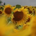 風が強い日のヒマワリ畑