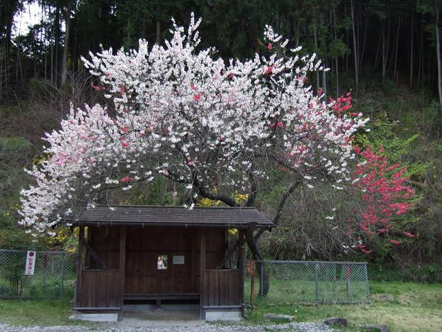 三色の花が一本の木に!