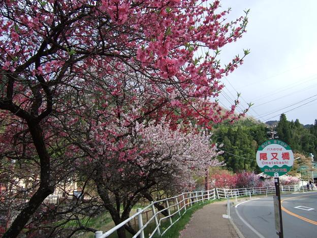 木曽路に咲く はなもも並木