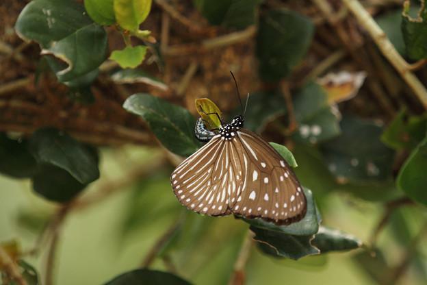 ツマムラサキマダラ♀産卵(2014/07/14 ビオスの丘)