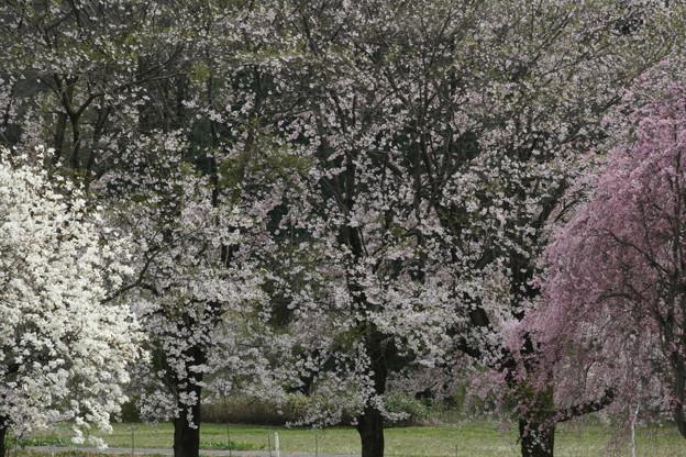桜 夢の空間