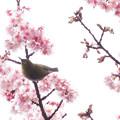 写真: 冬桜とメジロ
