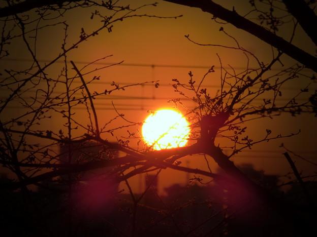 写真: 満開前の朝焼けシルエット