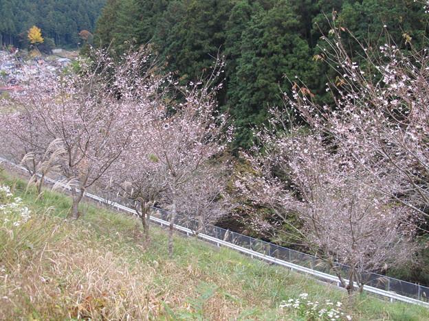 12さわらびの湯十月桜