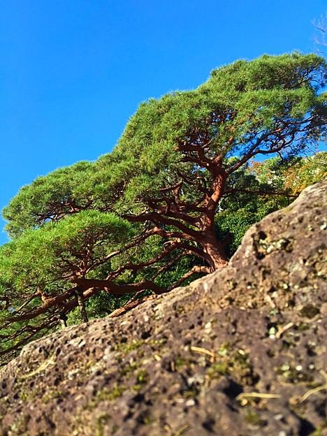 溶岩流と赤松