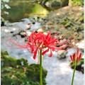 渓流に咲く彼岸花