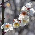 Photos: 梅香る頃(4)
