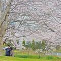 春桜花(2)2016