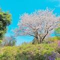 ご近所の桜