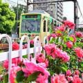 写真: バラの季節(ピンク)