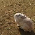 写真: ウサギ