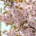 Photos: 『チシマ桜』DSC06864