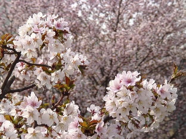 『チシマ桜』DSC06901
