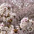 Photos: 『チシマ桜』DSC06901