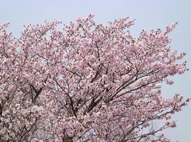 『チシマ桜』DSC06930