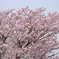 Photos: 『チシマ桜』DSC06930