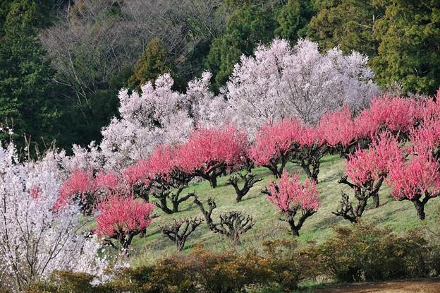 【保木の桃畑】3