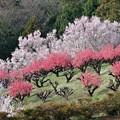 Photos: 【保木の桃畑】3