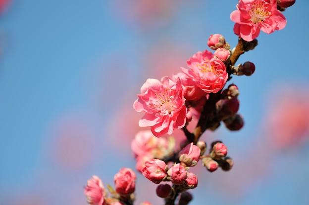 【保木の桃畑】5