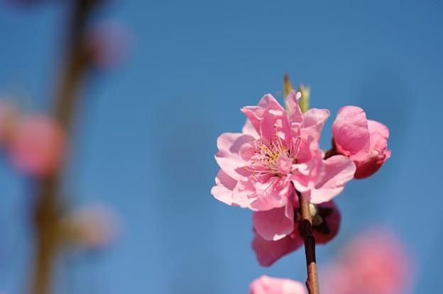 【保木の桃畑】6