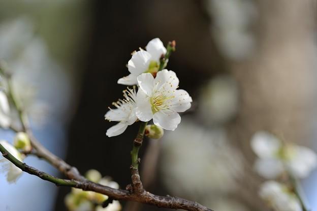 【三渓園・緑萼梅】3