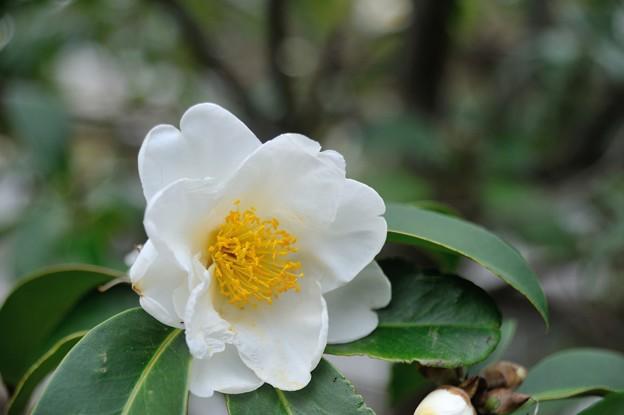 【大船植物園:台湾椿】2