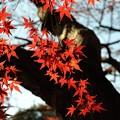 【新宿御苑の紅葉】2